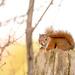 Little red squirrel! by fayefaye