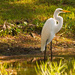 Egret at Rest!