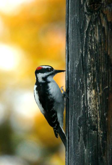 Downy Woodpecker? by gq