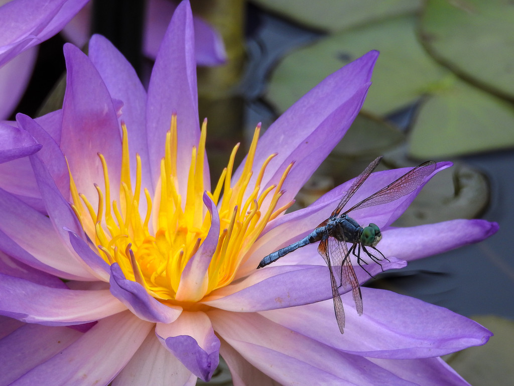 Water Lily and Dragonfly by fntngrma