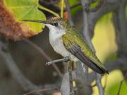 24th Sep 2018 - Hummingbird on Branch