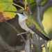 Hummingbird on Branch