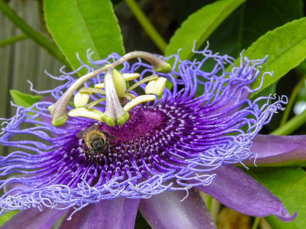 Bee on Passion Flower by fntngrma