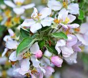 15th Oct 2018 - apple blossom