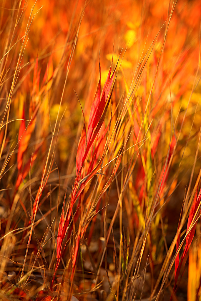 Red Grass with Yellow by gq