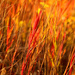 Red Grass with Yellow