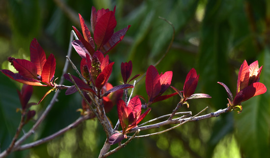 Red leaves of smoke tree by fr1da
