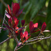 Red leaves of smoke tree