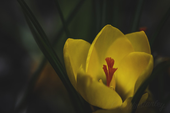 Soft Focus Crocus by kipper1951