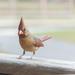 Female Cardinal by jnorthington