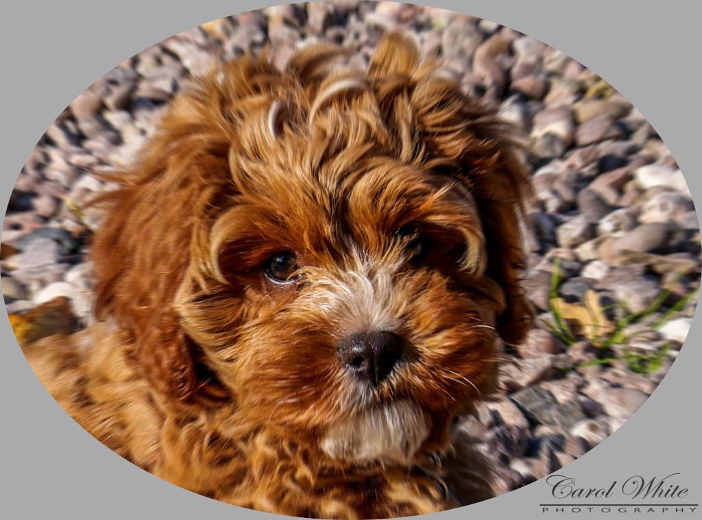 Bella (aged 10 weeks) by carolmw