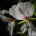 still flowering in My garden
