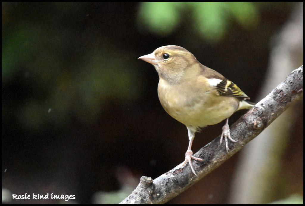 Female chaffinch by rosiekind