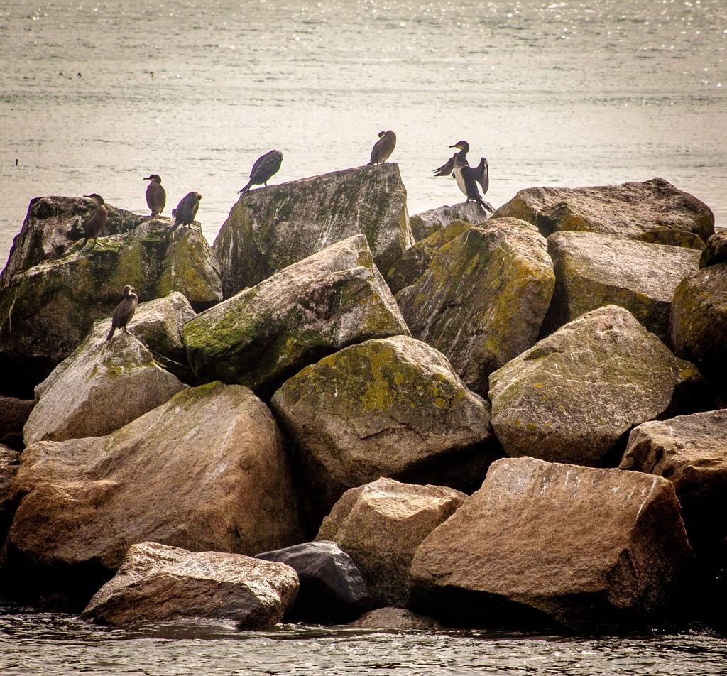 Cormorants  by swillinbillyflynn