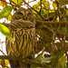 Barred Owl Taking a Nap!