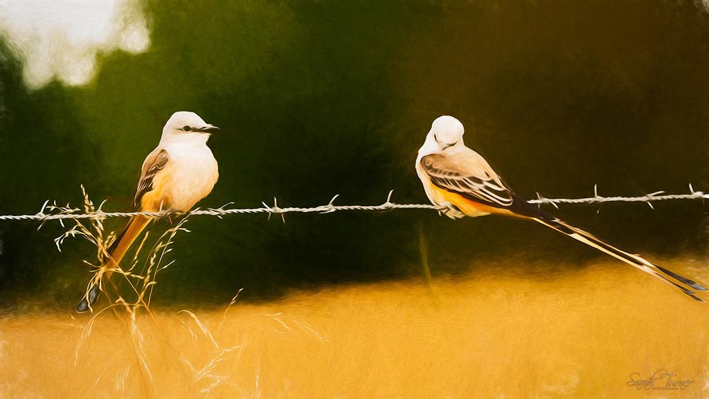 scissor-tailed fly-catchers by samae