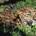 Leopard Cub Eyeing A Bird