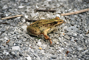 15th Oct 2018 - Frog