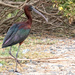A Glossy Ibis