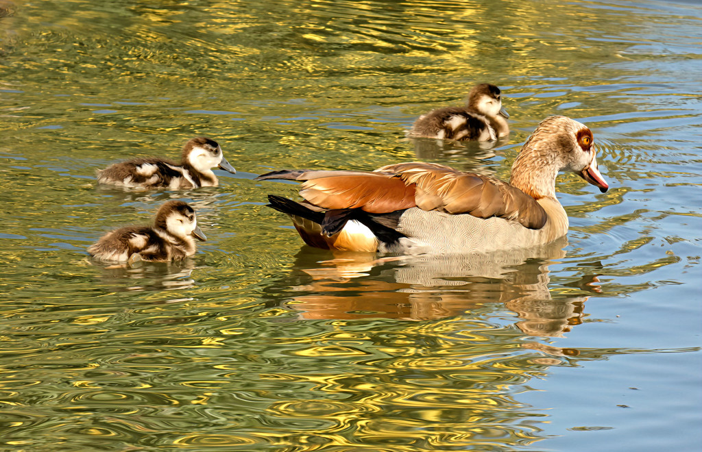 Egyptian Goose Mum and chicks by ludwigsdiana