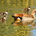 Egyptian Goose Mum and chicks