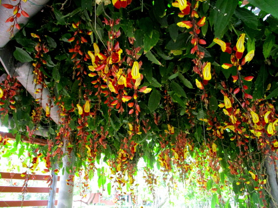 Flowers hanging underneath a pergoda  Roma Street  Gardens by 777margo