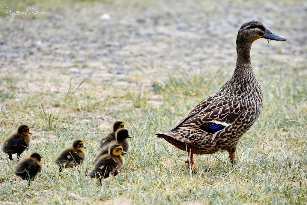 Mother and her ducklings by kgolab