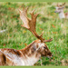 Resting Fallow Stag