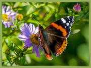 16th Oct 2018 - Red Admiral Butterfly