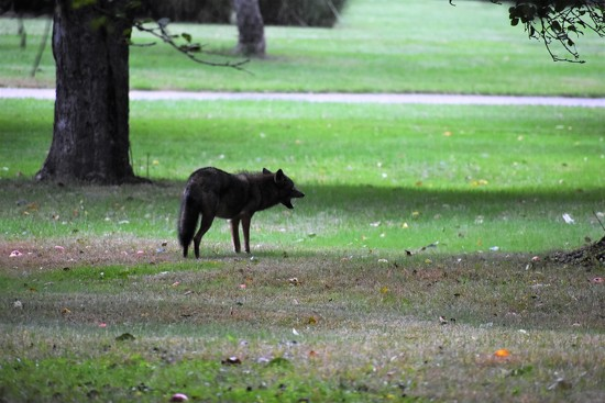 Coyote or Coywolf by brillomick