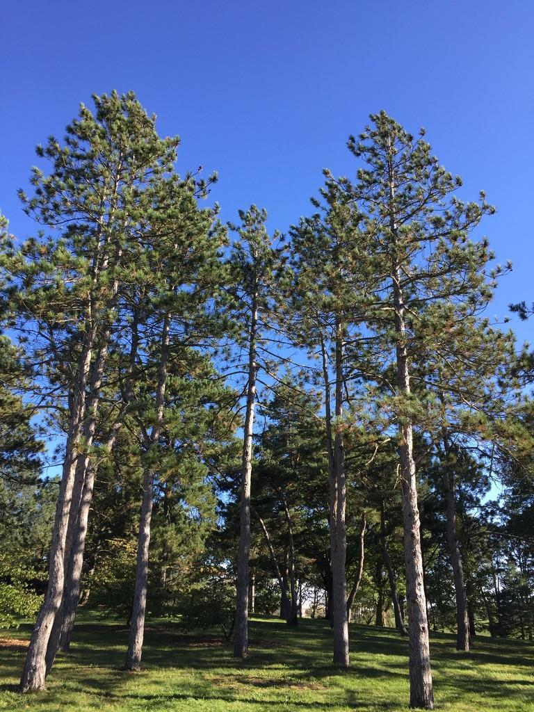 conifers at the Morton Arboretum  by kchuk