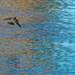 swallow over shinny water