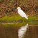 Snowy Egret, Wading Around the Lake!