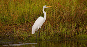 16th Oct 2018 - Egret, Waiting for Dinner to Come By!