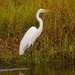 Egret, Waiting for Dinner to Come By!
