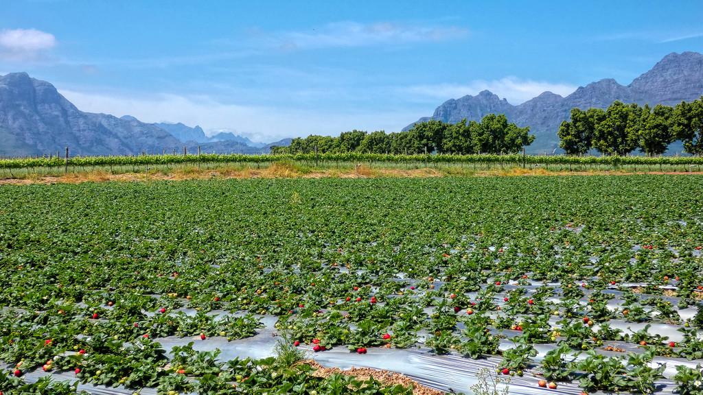 Strawberry field by ludwigsdiana