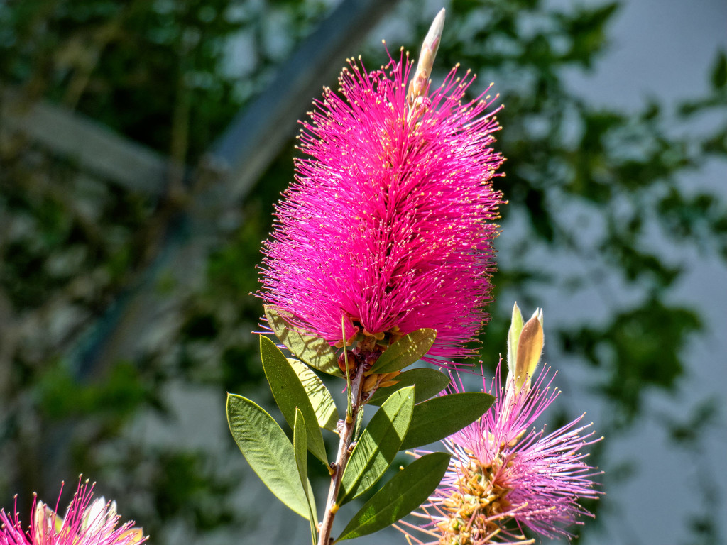 """Callistermon 'Reeve's Pink"""" by ludwigsdiana"""