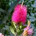 "Callistermon 'Reeve's Pink"""
