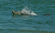 17th Oct 2018 - Bottlenose dolphin Mandurah Western Australia