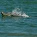 Bottlenose dolphin Mandurah Western Australia