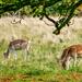 Fallow Deer,Attingham Park,Shropshire