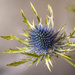 Eryngium (Blue Thistle) by yorkshirekiwi