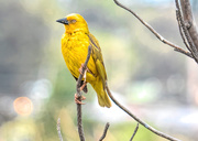 18th Oct 2018 - Cape Weaver