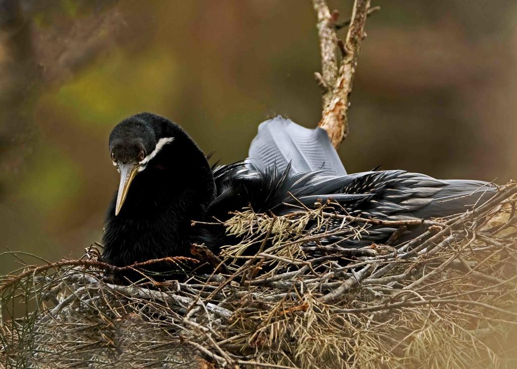 Darter or snakebird on its nest by maureenpp