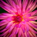 Electric Dahlia by carole_sandford