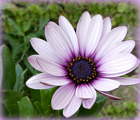 A Late Daisy. by wendyfrost