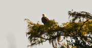 18th Oct 2018 - The Bald Eagle's New Tree!