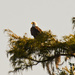 The Bald Eagle's New Tree!