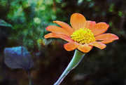 18th Oct 2018 - Mexican Sunflower