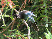 19th Oct 2018 - I See You Too...Stellar Jay, cont.